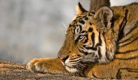 Reclinación real del tigre de Bengala Fotos de archivo libres de regalías
