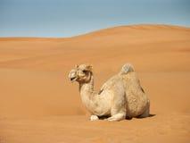 Reclinación sonriente del camello Fotos de archivo