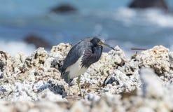 Reclinación tricolora del Egretta de la garza de Tricolored sobre Rocky Beach Fotografía de archivo libre de regalías