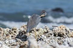 Reclinación tricolora del Egretta de la garza de Tricolored sobre Rocky Beach Foto de archivo libre de regalías