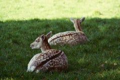 Reclinación y alarma de los ciervos fotografía de archivo libre de regalías