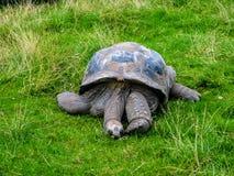 Reclinaci?n grande de la tortuga Tortuga grande que duerme en la hierba imagen de archivo