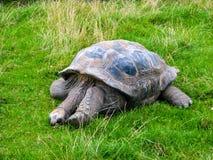 Reclinaci?n grande de la tortuga Tortuga grande que duerme en la hierba fotos de archivo libres de regalías
