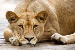 Reclinación africana de la leona Fotos de archivo libres de regalías