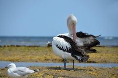 Reclinación australiana de los pelícanos blancos sobre la costa de Australia Imagen de archivo