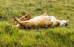Reclinación de la leona Imagenes de archivo