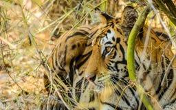 Reclinación de la tigresa de Bengala Foto de archivo libre de regalías