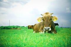 Reclinación de la vaca Fotografía de archivo