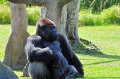 Reclinación del gorila de la tierra baja de Silverback Imagen de archivo libre de regalías