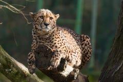 Reclinación del guepardo Imágenes de archivo libres de regalías