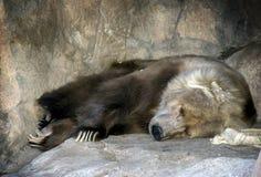 Reclinación del oso de Kodiak Imágenes de archivo libres de regalías