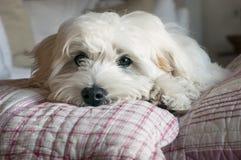 Reclinación del perro de perrito Foto de archivo