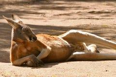 Reclinación roja del canguro Imagenes de archivo