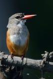 Reclinación sobre rama en el río de Chobe Imágenes de archivo libres de regalías