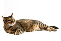 Reclining cat on white stock photography