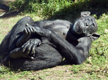 Reclining chimp Stock Photos