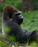 Reclining gorilla royalty free stock photos