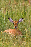 Reclining impala. At rest. Tarangire, Africa. Reclining impala. At resting. Tarangire, Africa Stock Images