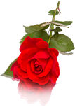 Reclining rose Stock Images