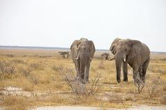 Reclusive old African elephants Loxodonta africana bush in the Etosha National Park, Namibia Stock Images