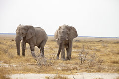 Reclusive old African elephants Loxodonta africana bush in the Etosha National Park, Namibia Royalty Free Stock Image