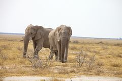 Reclusive old African elephants Loxodonta africana bush in the Etosha National Park, Namibia Stock Photography