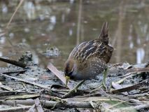 Sora Foraging in a Marsh. A reclusive Sora Rail foraging in a marsh Stock Image