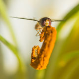 Recogedor del polen Fotos de archivo libres de regalías