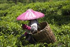 Recogedor del té imagenes de archivo