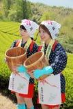 Recogedor del té de chicas jóvenes japonesas Imagenes de archivo
