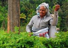 Recogedor del té en el trabajo Imágenes de archivo libres de regalías
