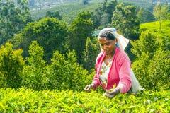 Recogedor del té en una plantación de té en las montañas de Sri Lanka Imagen de archivo