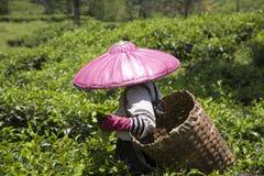 Recogedor del té Foto de archivo libre de regalías