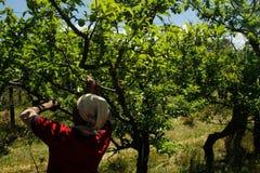 Recogedor femenino de la fruta del ciruelo Imagen de archivo libre de regalías