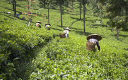 Recogedores del té imagen de archivo