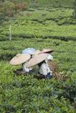 Recogedores del té imagenes de archivo