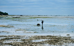 Recogida de alga marina en las plantaciones de la alga marina cerca de la playa Fotos de archivo