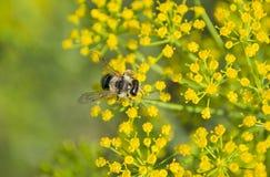 Recogida de la abeja necctar Fotos de archivo libres de regalías