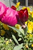 Recogida de la flor del tulipán Imagen de archivo