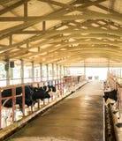 Recogida de la leche de vaca diaria en granja de la industria de la leche, Tailandia fotografía de archivo libre de regalías