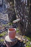 Recogida de la savia del árbol de abedul en primavera Imagen de archivo libre de regalías