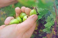 Recogida de las grosellas espinosas frescas Imagen de archivo libre de regalías