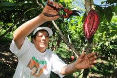 Recogida de las vainas del cacao Fotos de archivo