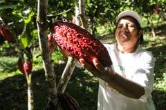 Recogida de las vainas del cacao Fotos de archivo libres de regalías