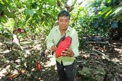 Recogida de las vainas del cacao Foto de archivo