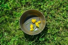 Recogida de los ranúnculos amarillos para un herbario foto de archivo