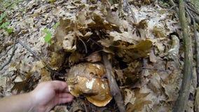 Recogida de setas en bosque del verano almacen de video
