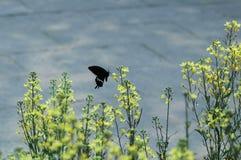 Recogida del néctar de la violación por la mariposa negra Imagen de archivo libre de regalías