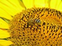 Recogida del polen Imagen de archivo