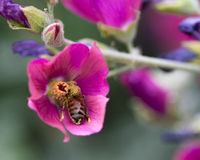 Recogida del polen foto de archivo libre de regalías